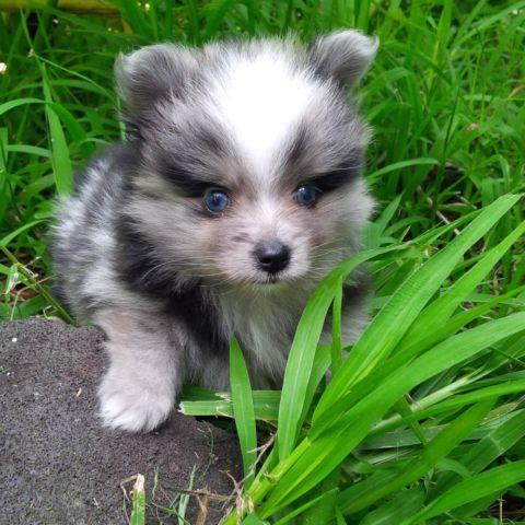 Pomeranian Blue Pets And Animals For