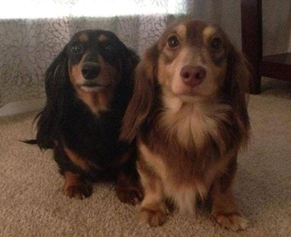 Expecting Long Haired Miniature Dachshund Puppies Akc For Sale In