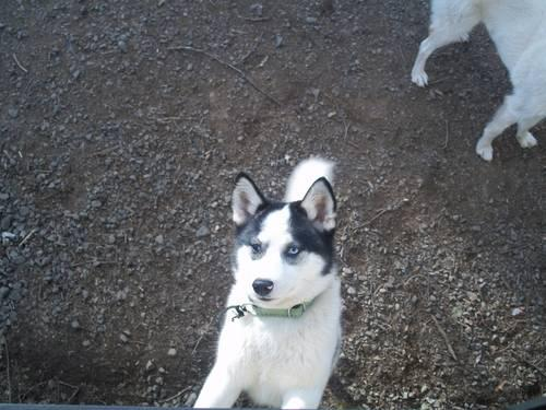 expecting minni husky shiba inu puppy s due feb 14 2013