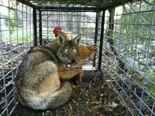 Extra Large Bobcat And Coyote Traps For Sale In