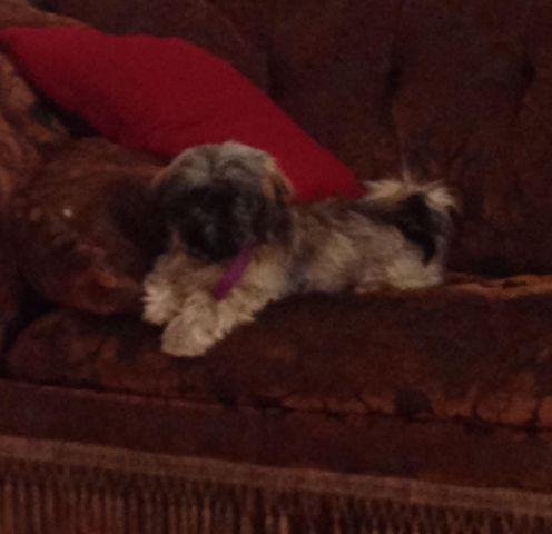 Shih Tzu For Sale In Minnesota Classifieds Buy And Sell In