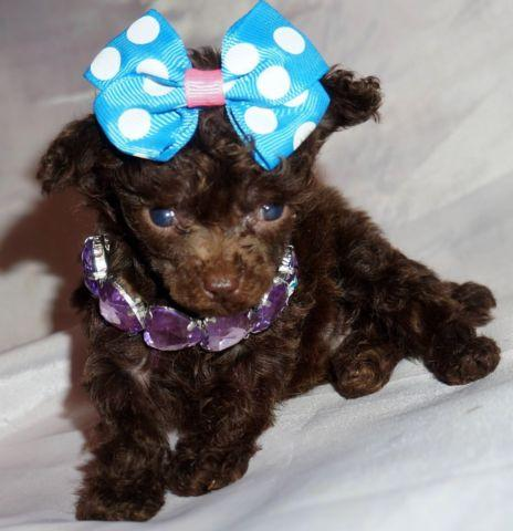 Extra Tiny Toy Teacup Chocolate Female Poodle For Sale In