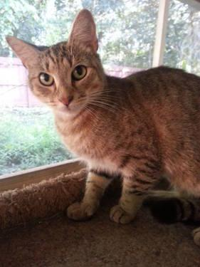Extra - Toes Cat (Hemingway Polydactyl) - Benson -