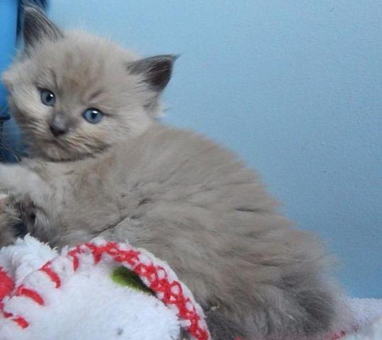 Extraordinary Blue Mink Amp Sepia Ragdoll Kittens Tica For