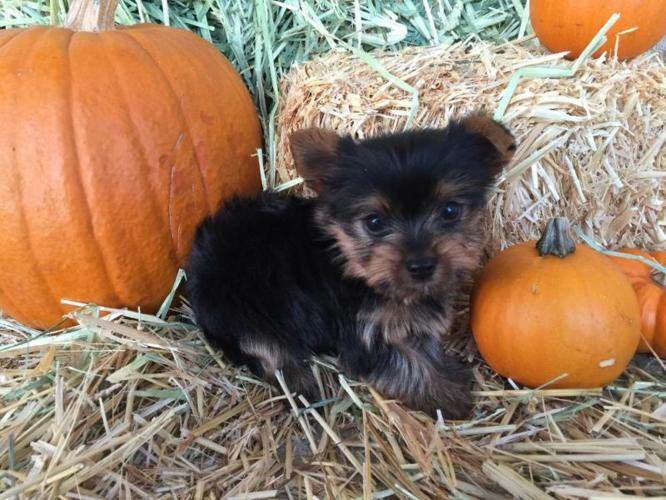 Rottweiler Puppies Pets And Animals For Sale In Toledo Ohio Puppy And Kitten Classifieds Buy And Sell Kittens And Puppies Americanlisted Com