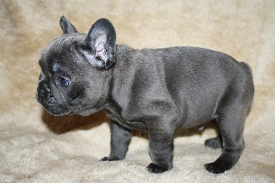 Ezoke Adorable Blue Eyes French Bulldog Puppies For Sale In New York