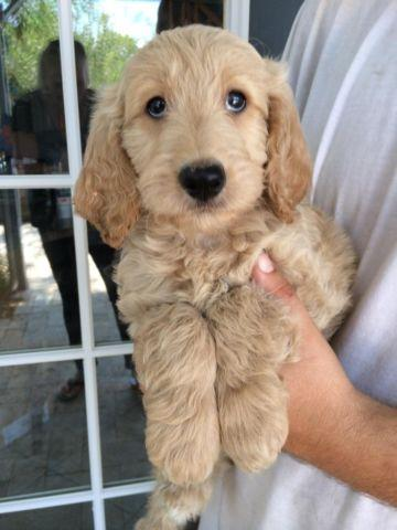 F1 And F1b Goldendoodle Puppies For Sale In Phoenix Arizona