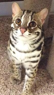 F1 Bengal Kittens For Sale In Lexington North Carolina Classified Americanlisted Com