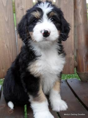 F1 bernedoodle puppies bernese mountain dog poodle cross for sale in