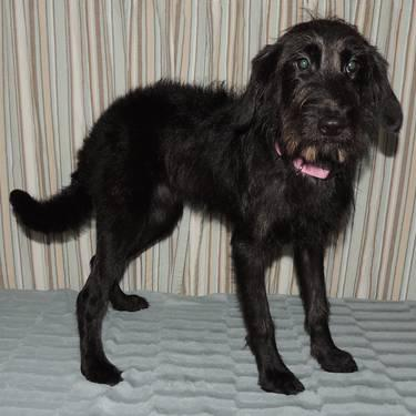 F1 Black Female Miniature Labradoodle 1 Year Old For Sale