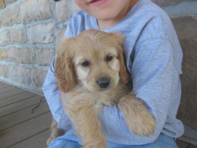 F1 Cockapoo Puppies Female For Sale In London Ohio Classified Americanlisted Com