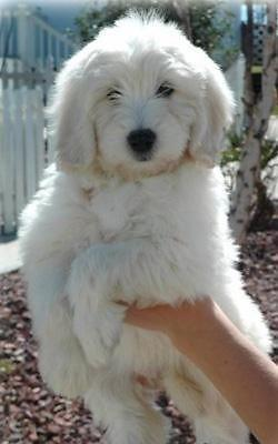 F1 English Cream Goldendoodle Puppies 11 Weeks Old For