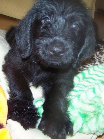 George: F1 Labradoodle male