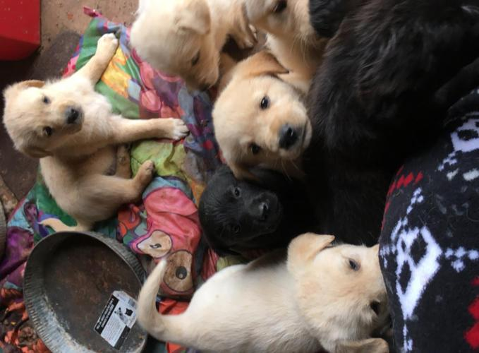 F1 Labradoodle Puppies For Sale In Cunningham Kentucky Classified