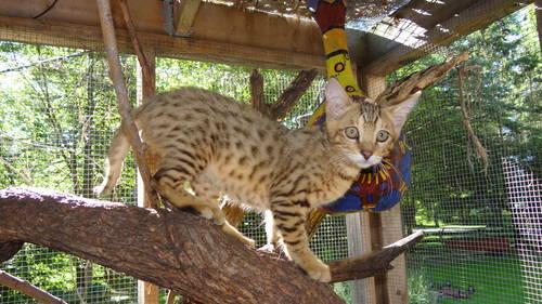 F1 Male Jungle Hybrid Kitten For Sale In Wonder Lake