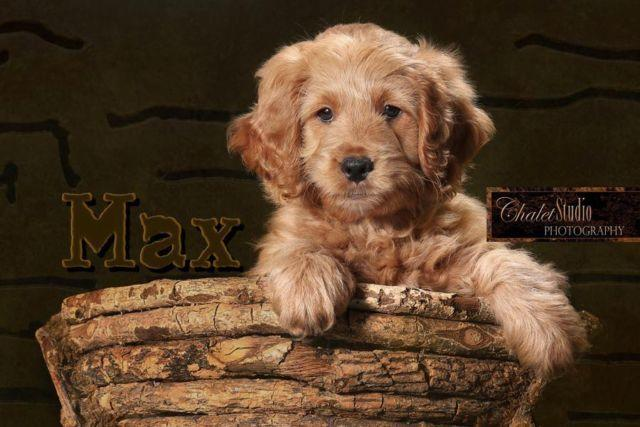 F1 Miniature Mini Goldendoodle Puppies Now Booking Litter