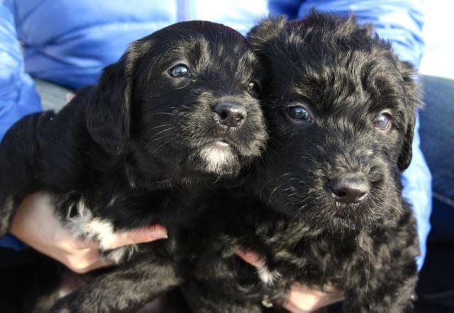 F1 Parti Labradoodle Puppies