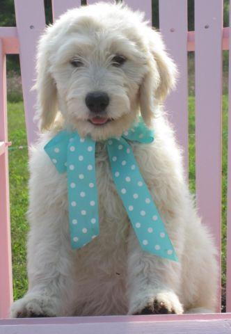 F1 Standard English Teddy Bear Goldendoodle Puppies ...