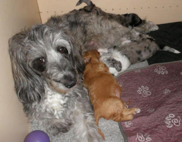 F1b2 Mini Aussiedoodle Puppies 3rd Generation Born June 9 For