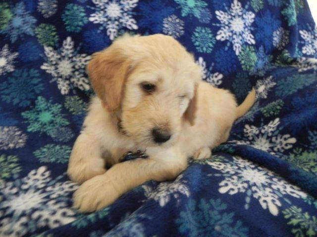 F1b And Multigen Goldendoodle Puppies Smart And