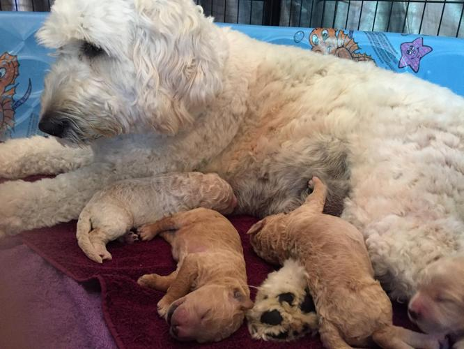 F1b Ckc English Goldendoodle Puppies For Sale In Wakeman Ohio