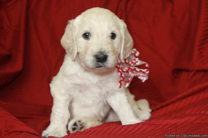 F1b English Goldendoodle Puppies For Sale In El Dorado Hills