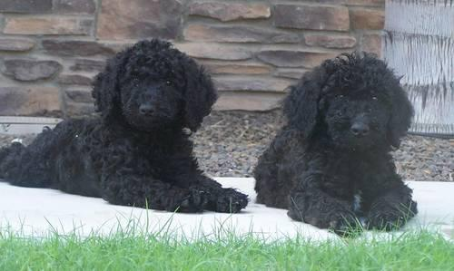 F1b Goldendoodle Darlings for CHRISTMAS!
