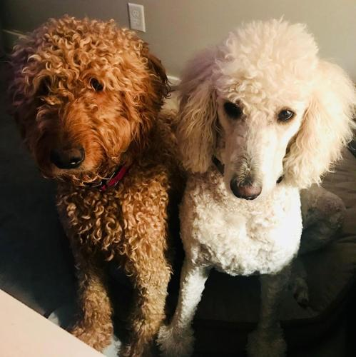 F1b Goldendoodle Puppies For Sale In Crosby Minnesota Classified