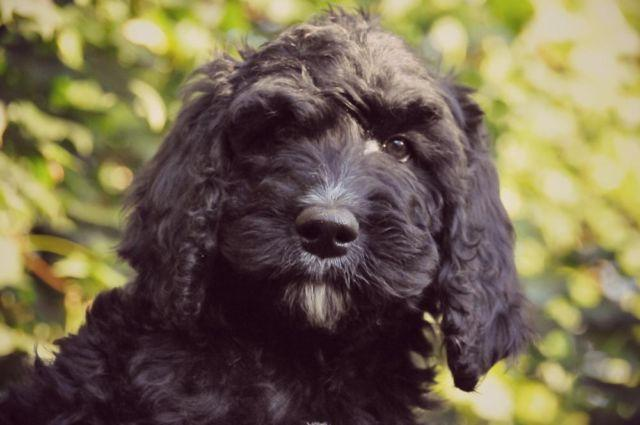 F1b Goldendoodle Puppies for Sale in Tecumseh, Michigan Classified ...