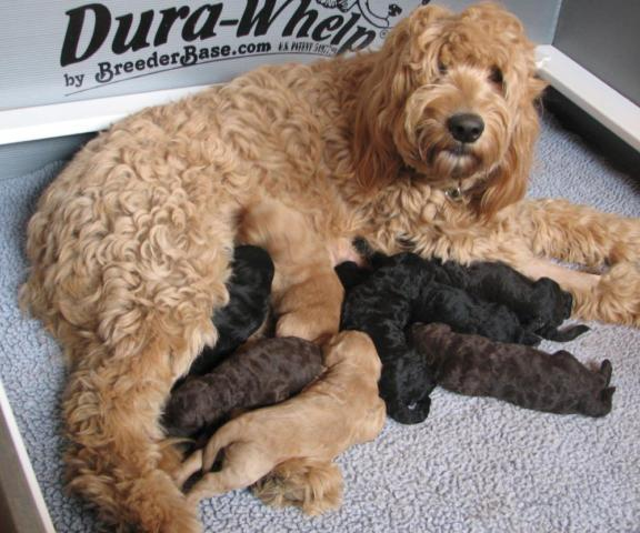 F1b Goldendoodle Puppies For Sale In Vashon Washington
