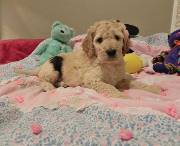 F1b Goldendoodle Puppies Hypoallergenic Nonshedding For