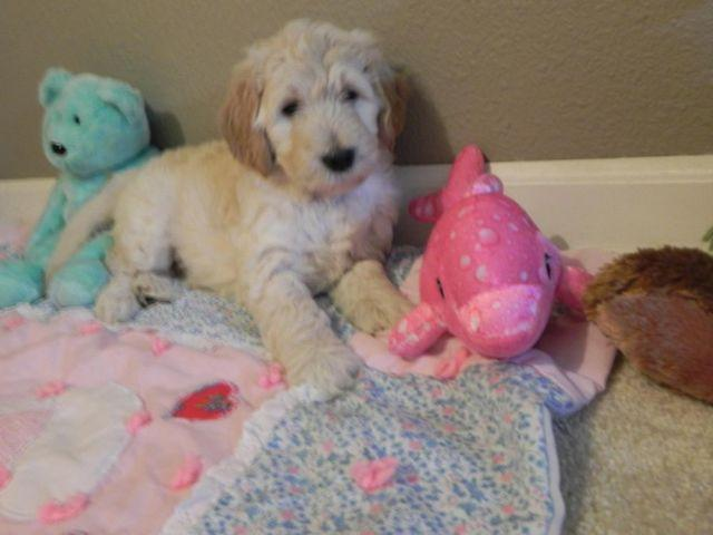 F1b Goldendoodle Puppies Smart Nonshed Hypoallergenic