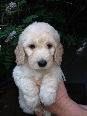 F1b Goldendoodle Pups 3 Left English Cream Males For
