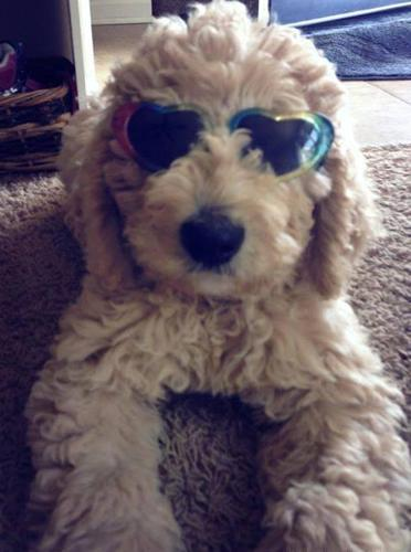 F1b Labradoodle Puppies For Sale In Tingley Iowa Classified