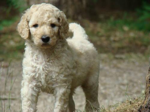 F1b Labradoodle Puppy For Sale For Sale In Hamilton Michigan