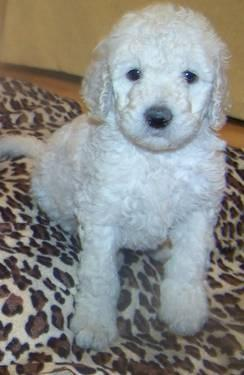 F1B Labradoodle puppy (Green Ribbon)