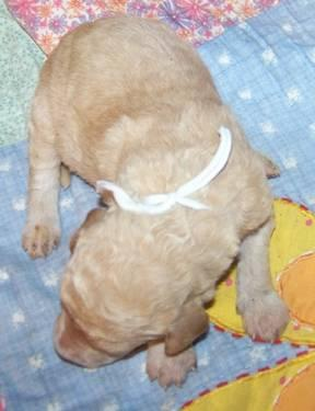 F1B Labradoodle Puppy Heidi's purple ribbon