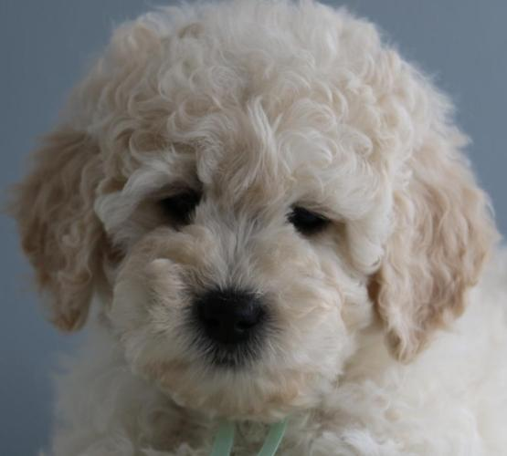 F1b Mini English Teddy Bear Goldendoodle Puppies For Sale In