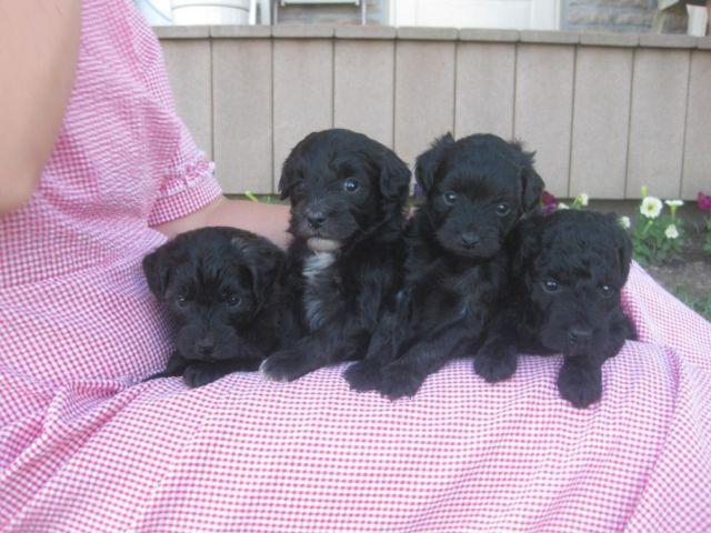 F1b Mini Goldendoodle Puppies For Sale In London Ohio Classified