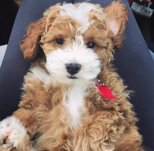F1b Miniature Goldendoodle Puppies For Sale In Tampa Florida