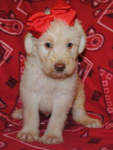 F1B Second Generation Standard Labradoodle Puppies