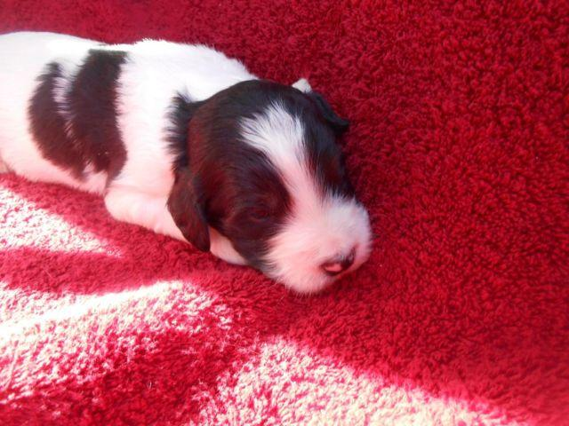 F1B SPRINGERDOODLE PUPS AVAILABLE JULY 6