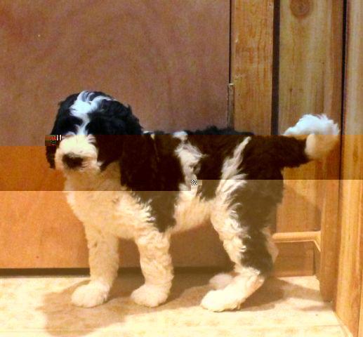 Parti Black White Goldendoodle Puppies