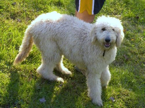 F2b Labradoodle Puppies For Sale In Friendsville Maryland