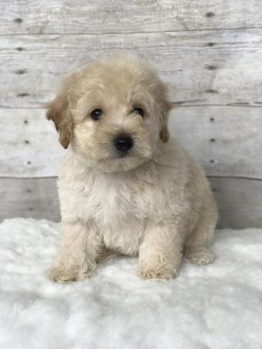 F2b Petite Miniature Goldendoodle Puppies For Sale In Grand