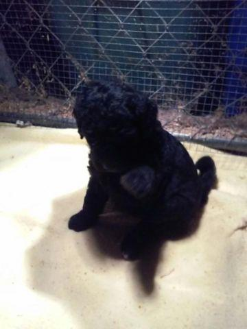 F2B1 Golden doodle puppies all colors