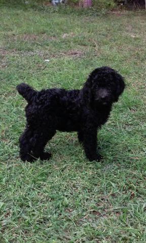 F3 Multi Generational Labradoodles Reduced