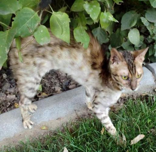 F4 Savannah Cats for Sale http://bliss-id.americanlisted.com/animals/f4-savannah-female-cat-tica-registered-1-year-old_21386425.html