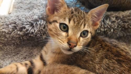 F4 Savannah Cats for Sale http://newbrighton-pa.americanlisted.com/15066/pets-leasure-time-hobbies/f4-savannah-kittens_24215785.html