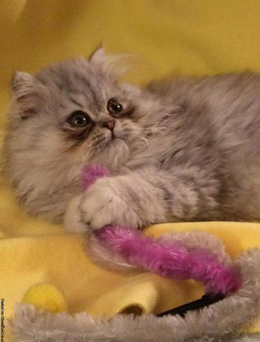 FABULOUS CFA BLUE TABBY MALE PERSIAN